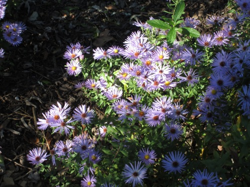 asters in late Oct 2